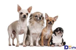 Hãy chú ý tới sức khỏe của Chihuahua