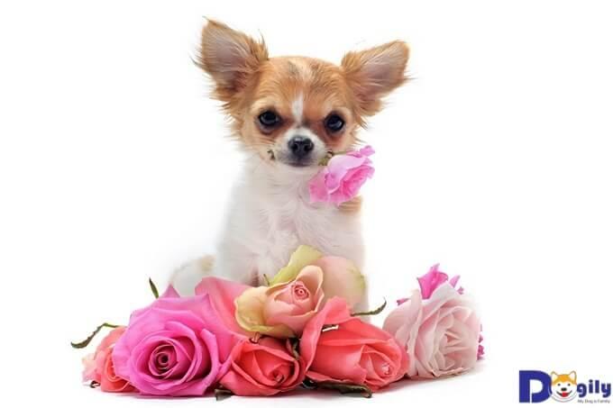 Cách nuôi Chihuahua đẹp, phát triển khỏe mạnh