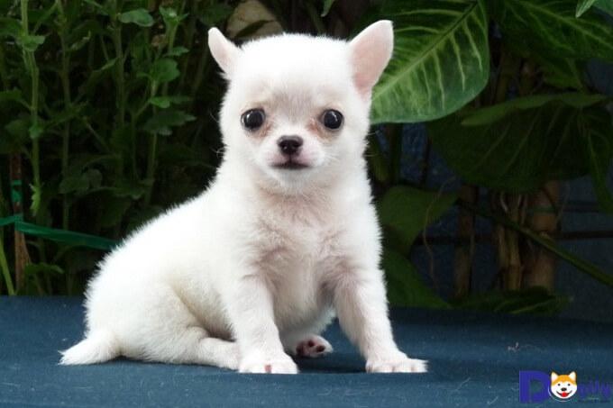 Cách nuôi chó Chihuahua mới đẻ