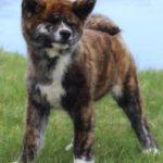 Chó akita con màu vện (brindle Akita Inu) 3 tháng tuổi.