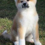 Bán chó Akita Inu vàng trắng nhập khẩu