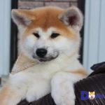 Mua bán chó Akita nhập khẩu giấy tờ đầy đủ. Bao gồm giấy FCI, sổ tiêm chủng, hộ chiếu.