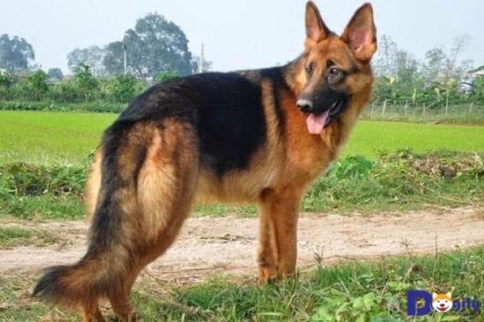 Bạn có thể nhờ người có kinh nghiệm. Hoặc tự đăng nhu cầu mua chó Becgie lên internet để tìm chó Becgie thuần chủng.