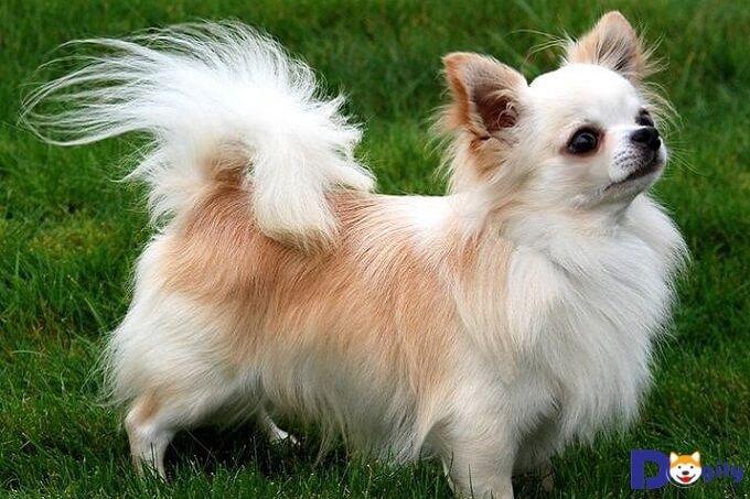 Chó Chihuahua lai Nhật lông dài