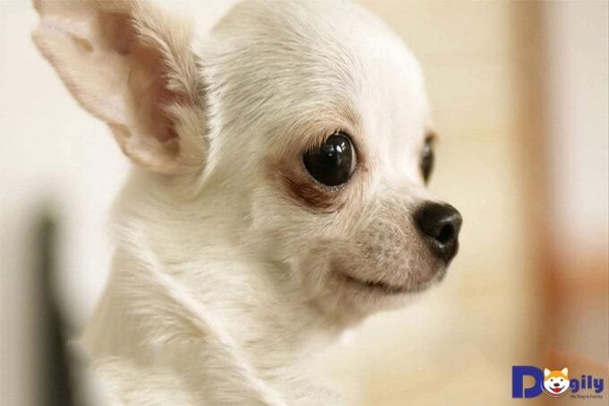 Chó chihuahua lai Phốc hươu