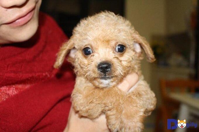 Chó Chihuahua lai Poodle