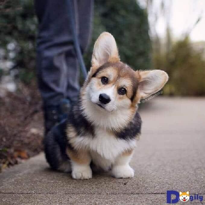 Bạn cần phải tiêm phòng đúng theo quy định cho chó corgi con. Nên có sự tư vấn của bác sỹ thú y nếu bạn chưa hiều về quy trình tiêm phòng cho chó.