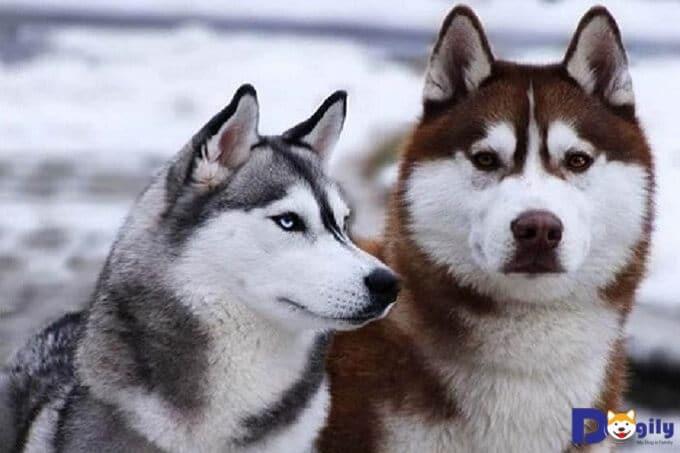 husky và alaska