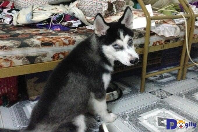 Chó Husky giá rẻ chủ yếu là chó lai tạp, không thuần chủng.