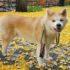 Chó akita cứu người già tại Nhật Bản