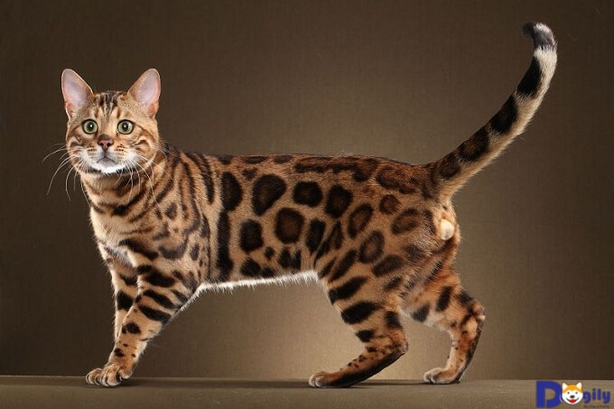 Mèo Bengal có bộ lông vằn giống loài Hổ