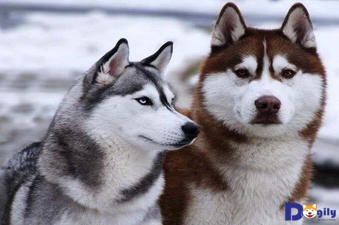 Để Husky có một bộ lông khỏe đẹp ta cần thường xuyên tắm rửa cũng như chải chuốt bộ lông của chúng.