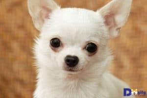 Mua chó Chihuahua tại Hà Nội