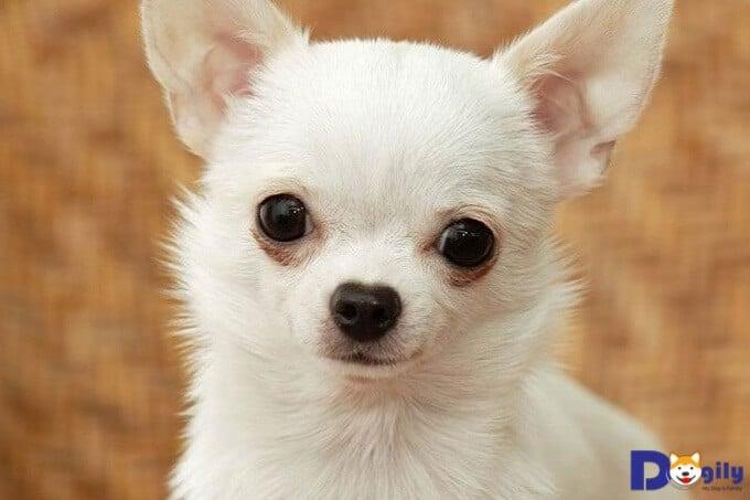 Mách bạn địa chỉ mua chó Chihuahua uy tín, chất lượng? Mua Chó Chihuahua cần lưu ý những gì?