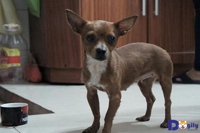 Giá chó Chihuahua lai trên thị trường