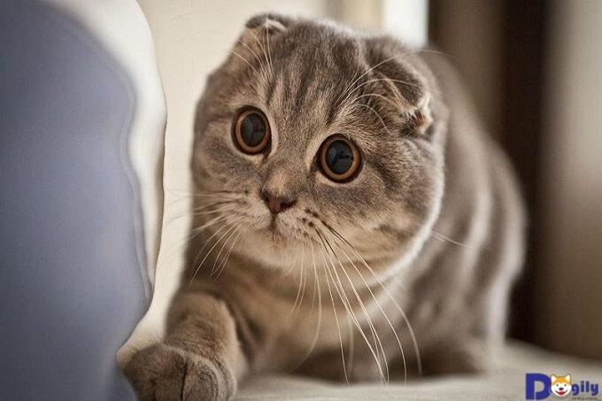 Mèo tai cụp là loài mèo với nguồn gốc từ Scotland được nhiều người yêu thích