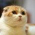 Mèo tai cụp Scottish giá bao nhiêu và nên mua ở đâu?