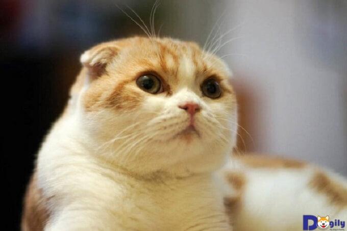 Giá của loại mèo này vào khoảng 4 - 6 triệu/ con được phối giống ở Việt Nam