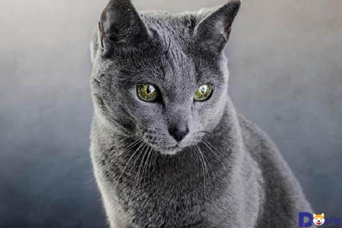 Mèo Nga với vóc dáng nhỏ nhắn và sự trầm mặc, lạnh lùng