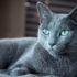 Mèo Nga giá bao nhiêu? Đặc điểm ngoại hình và tính cách