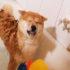 Hướng dẫn cách tắm cho chó Shiba Inu. Kinh nghiệm từ Dogily Kennel.