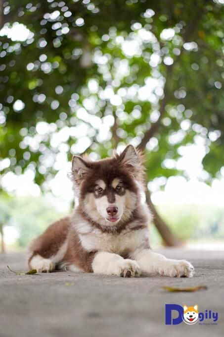 Bạn có thể đặt mua chó Alaska con online trên website dogily.vn, gọi điện thoại, nhắn tin để đặt hàng