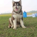 Hình ảnh chó Alaska giant khổng lồ