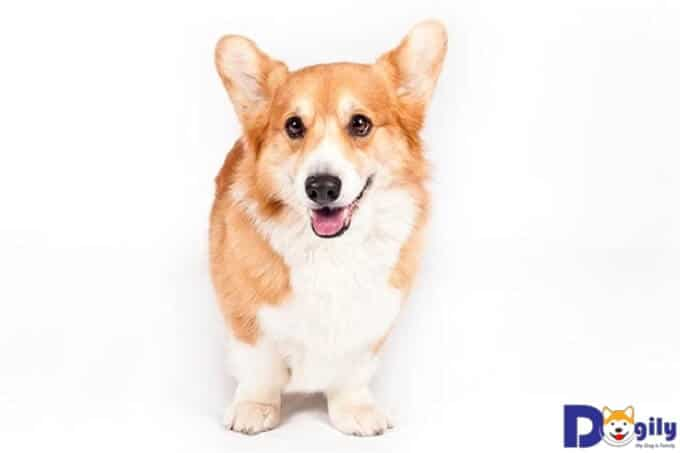 Chó Pembroke Corgi và những thông tin thú vị bạn nên biết