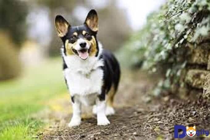 Pembroke Corgi là một giống chó ưa chạy nhảy nên hãy dành thời gian cho chúng tập thể dục mỗi ngày