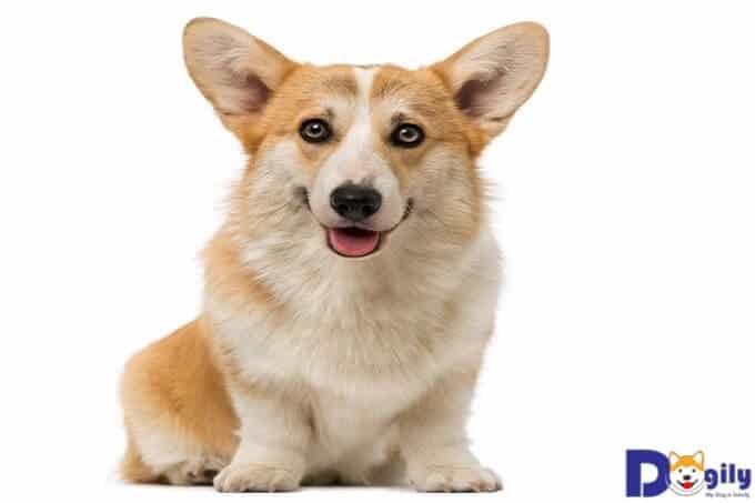Chó Pembroke Corgi và những thông tin cực kì thú vị