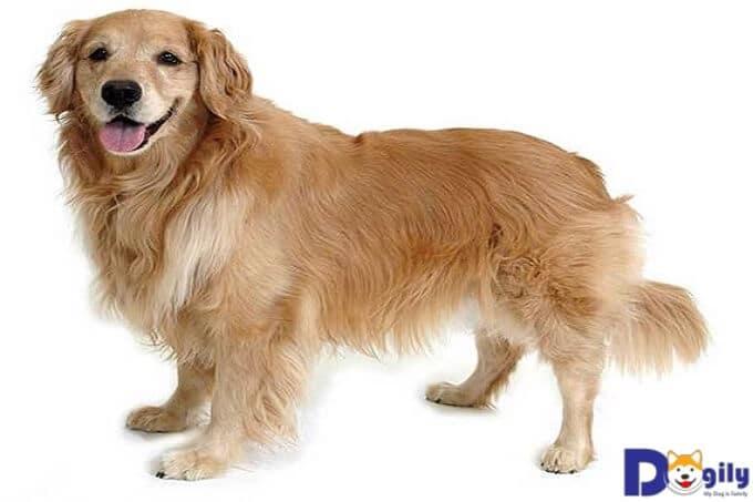 Những thông tin thú vị về giống chó Golden Retriever