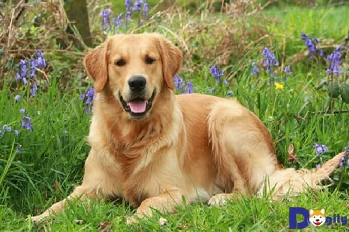 Chó Golden Retriever có một thân hình to khỏe và khá cân đối