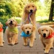 Golden Retriever là dòng chó gia đình nên chúng luôn ngoan ngoãn và trung thành với chủ nhân