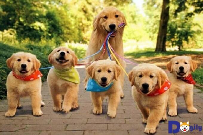 Những thông tin, đặc điểm thú vị về giống chó Golden Retriever