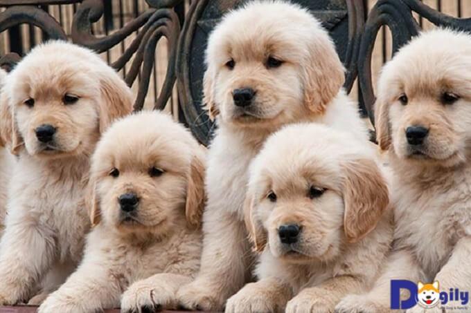 Mặc dù to khỏe là vậy nhưng nếu không chăm sóc cẩn thận chó Golden Retriever cũng có thể mắc bệnh vì vậy nên ta cần đề phòng