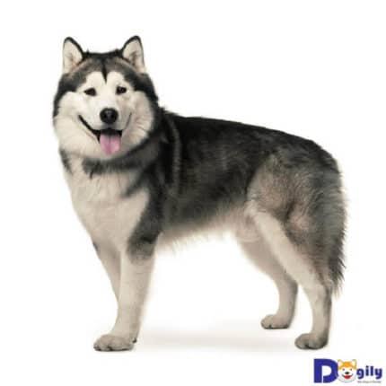 Việc nhân biết chó husky thuần chủng không mấy khó khăn. Do giống chó này có những đặc điểm rất khác biệt về ngoại hình.