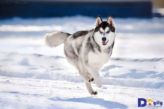 Những chú chó Husky thuần chủng thường rất nhanh nhẹn và hoạt bát