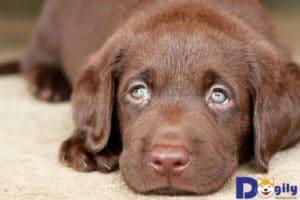 Chó Labrador được bán với giá thế nào?