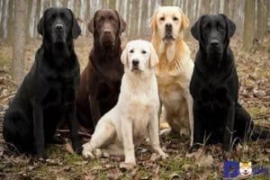 Labrador có một thân hình to khỏe khá cân đối