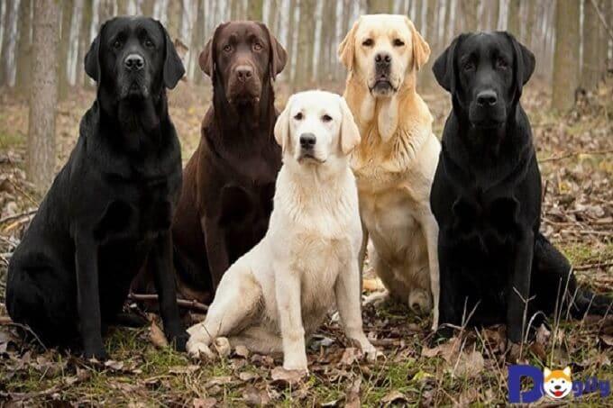 Bạn biết gì về chó Labrador Retriever – Một giống chó phổ biến tại Mỹ?