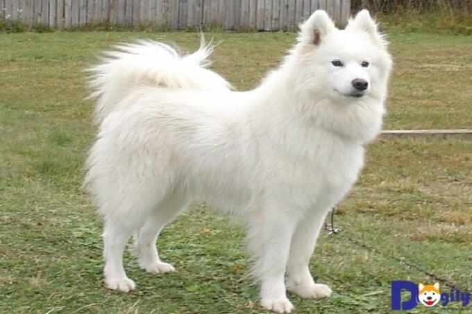 Chó Samoyed ăn gì? Chế độ dinh dưỡng tốt nhất dành chó Samoyed?