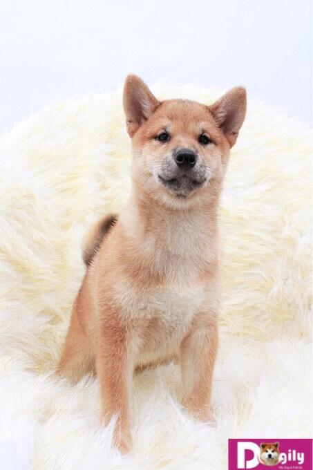 Tổng quan về giống chó Shiba Inu Nhật Bản | Dogily Petshop