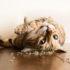 Cỏ bạc hà mèo – một loại cỏ gây phê như thuốc