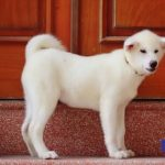 Chó Akita Inu của Dogily Petshop thường đạt giải cao trong các Dogshow của VKA.