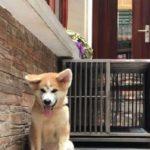 Một chú chó Akita Inu con bố mẹ nhập Nhật Bản của Dogily Petshop.
