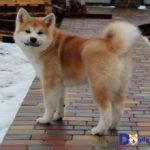 Hình ảnh một chú chó Akita con 5 tháng tuổi được Dogily Petshop nhập khẩu về Việt Nam.