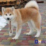 Bạn hoàn toàn yên tâm khi order chúng tôi nhập khẩu chó Akita từ nước ngoài.