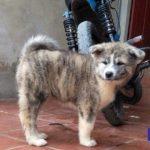 Một chú chó Akita vện bạc cực hiếm được nhân giống tại trang trại của Dogily. Bố là nhà vô địch Việt Nam. Ông nội là nhà vô địch châu Âu và Liên bang Nga.