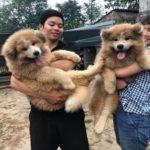 Hai chú chó Akita lông xù con tại Dogily Petshop nhập khẩu từ Ucraina.