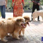 Hai chú chó Akita lông dài của Dogily Petshop.
